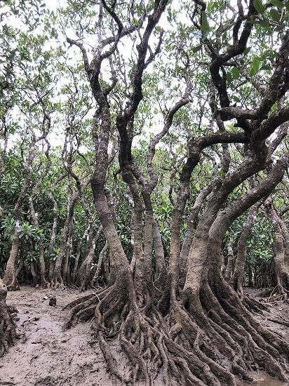 マングローブの根