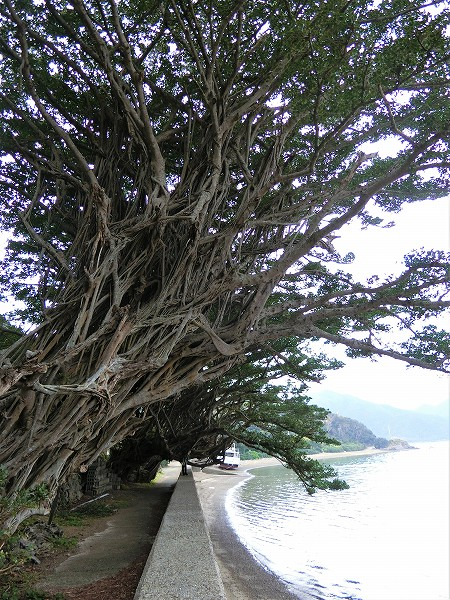 反対側からのガジュマルの樹