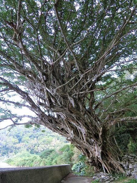 西原ガジュマルの樹