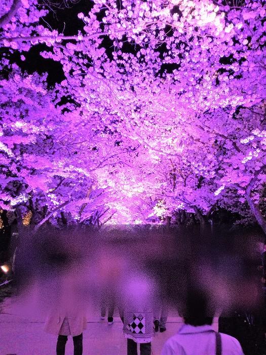 高田城桜まつり夜桜