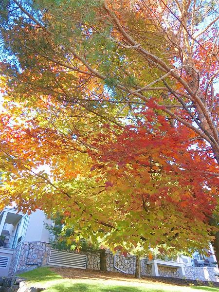 メイプルの木紅葉