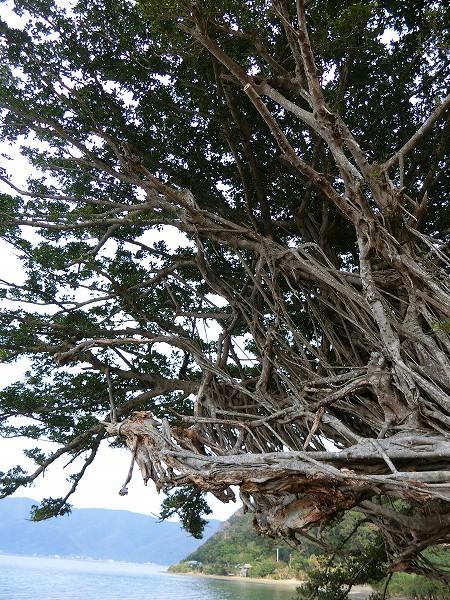 ガジュマルの樹アップ