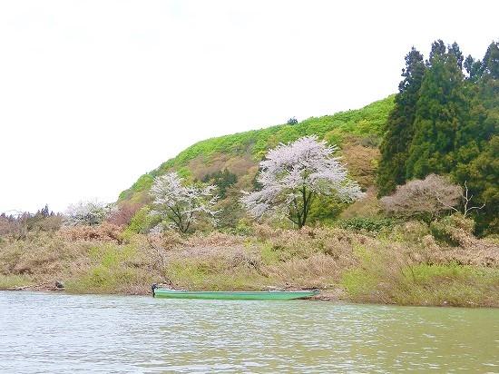 最上川沿いの桜