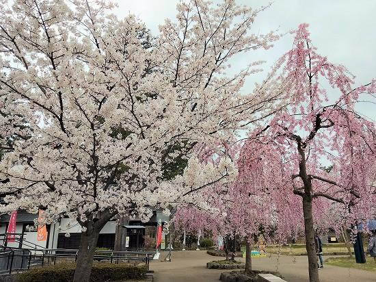 弘前公園 北の郭桜