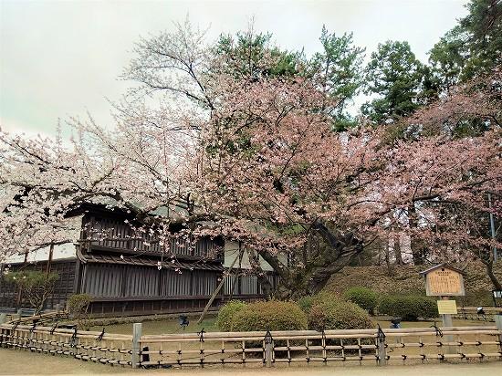 弘前公園 日本最古級ソメイヨシノ
