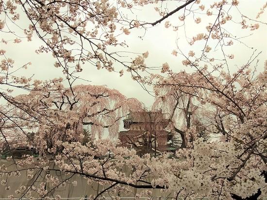 弘前公園 本丸桜