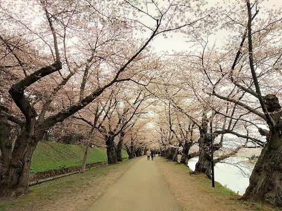 弘前公園 桜のトンネル