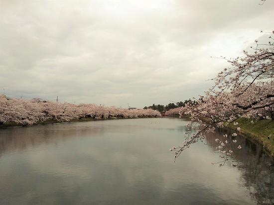 弘前公園 西濠桜