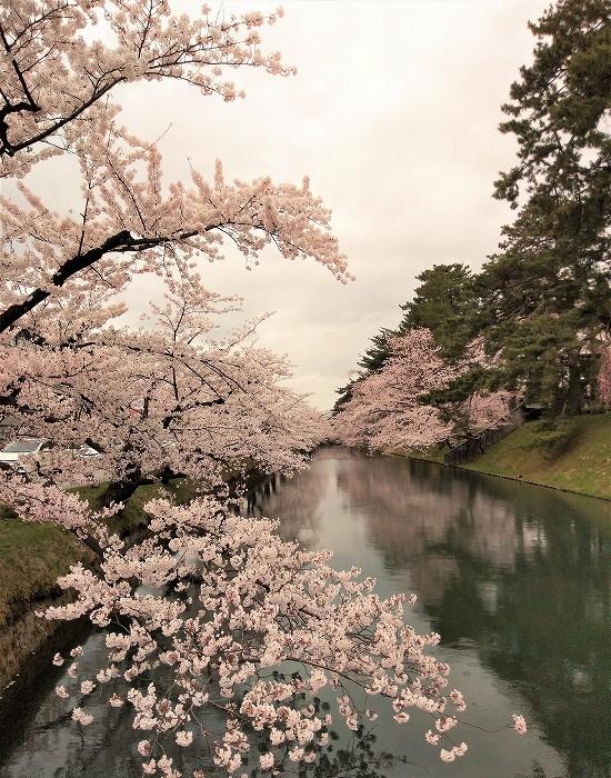 弘前公園 追手門桜