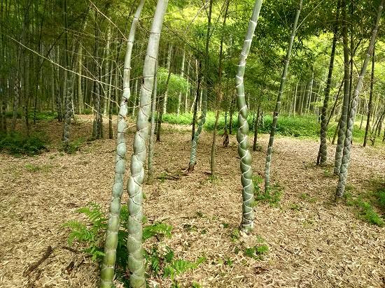 若山農場 亀甲竹