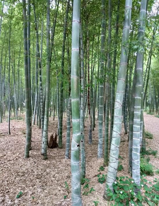 若山農場 仏面竹