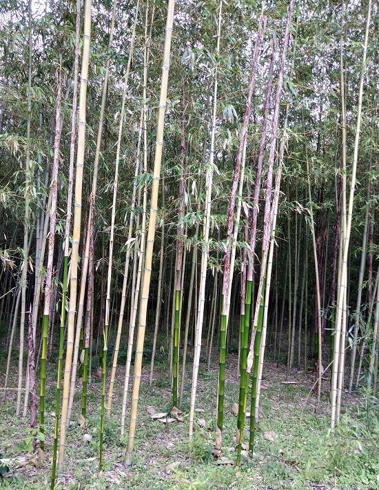 若山農場 真竹